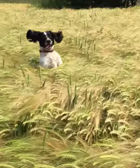Dog Finds Hilarious Way To Follow His Owner Through Crops