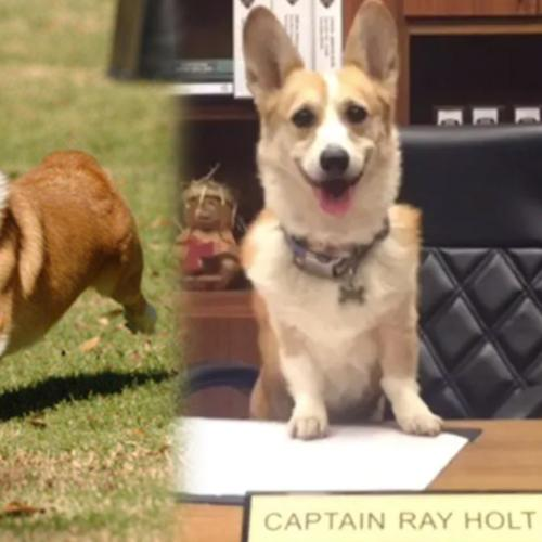 Captain Holt's Dog Cheddar In Brooklyn Nine Nine Has Died In Real Life