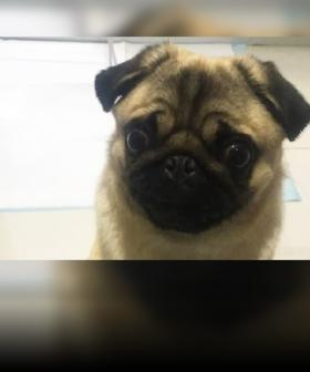 Charges Laid Over Perth Burglary That Ended In Death Of Pet Pug