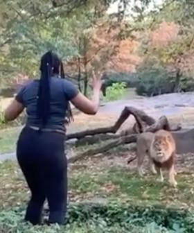 Terrifying Moment Woman Climbs Into Lion Enclosure, Taunts Animal