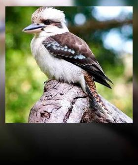 Perth Pub Goer Who 'Ripped Off' Kookaburra's Head May Not Be Charged With Cruelty: RSPCA