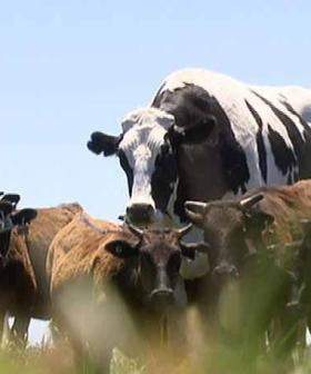 Your Fave Super-Sized WA Steer 'Knickers' Is Making A Celebrity Appearance This Weekend