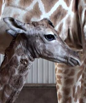 Perth Zoo Welcomes Baby Giraffe And He's A Handsome Beaut