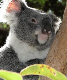 Hundreds Of Koalas Feared 'Burned Alive' In Bushfire