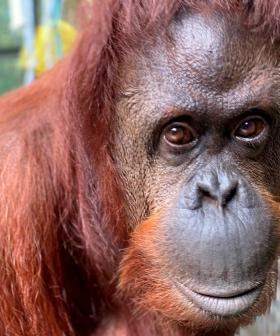 Orangutan That Was Granted 'Personhood' In Argentina Is Moving To The US