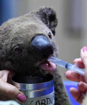 Hundreds Of Koalas Incinerated After Tragic NSW Bushfires
