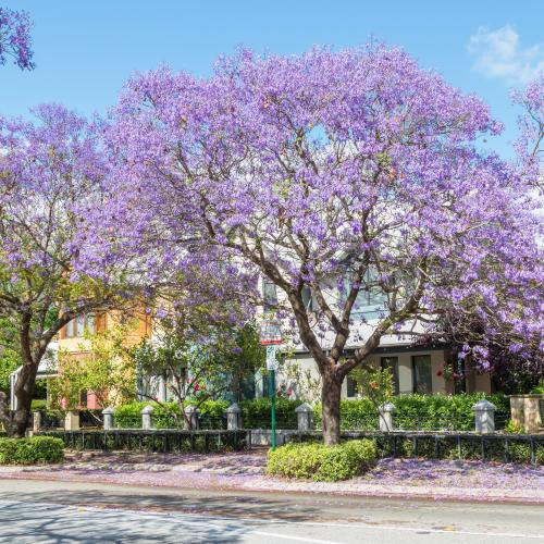 The Top 6 Jacaranda Tree Hot Spots In Perth