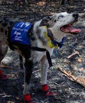 Bear The Koala Detection Dog Is The Bushfire Story We Need Right Now