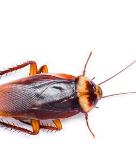 Australia To Be Hit By Horror Summer Cockroach Plague This Year