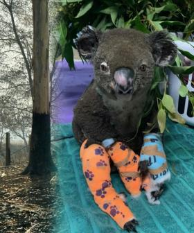 Wildlife Rescuers Fear Nearly 1000 Koalas Have Been Killed In Australia's Bushfires