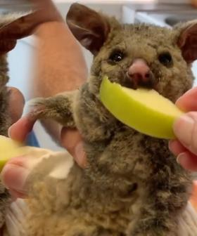 This Video Of A Possum Rescued From The NSW Bushfires Will Break Your Heart
