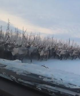 The Moment 3000 Reindeer Blocked A Siberian Highway