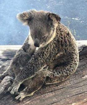 Koala & Joey Found Clinging To Branch In Bushfire Nursed Back To Health