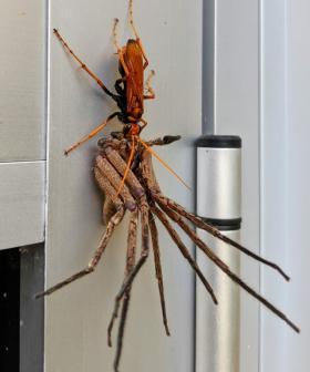 Nope: Here's A Snap Of A Tarantula Hawk Wasp Attacking A Huntsman