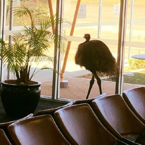 An Emu Broke Into An Airport And The Pics Need To Be Seen