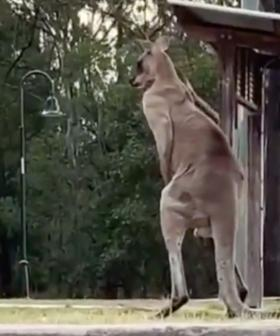 Dog Rescued After Terrifying Fight With Kangaroo
