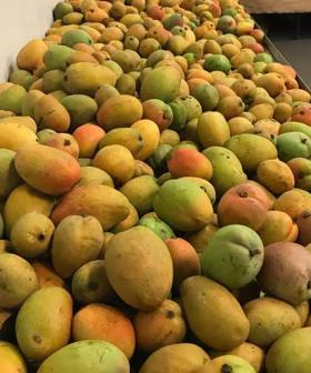 Wild Weather Causes A Massively Delicious Mango Problem In Perth