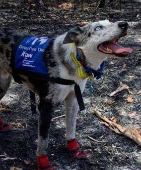 Bear, The Dog That Helped Rescue Koalas During Bushfires, Gets His Own Doco