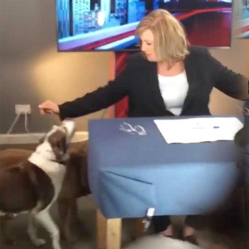 Tracy Grimshaw's Dogs Interrupt 'A Current Affair' As She Broadcasts From Home