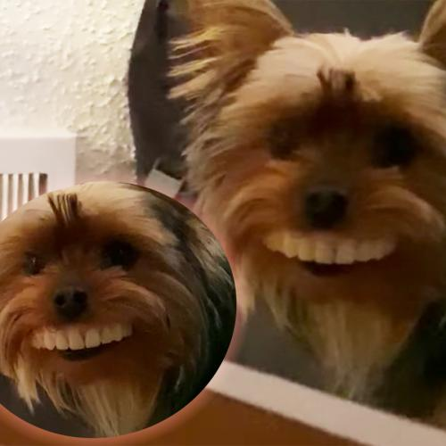Have You Guys Met Thomas The Dog Who Stole His Owner's Giant Teeth And Is A STAR