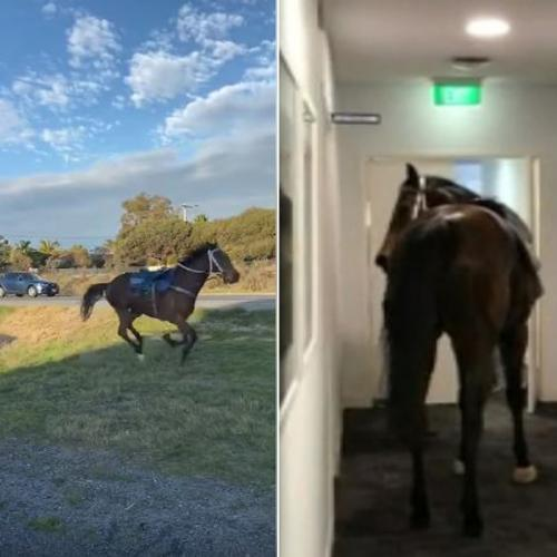 Horses Bolt From Perth Stables, One Of Which Ends Up In Office