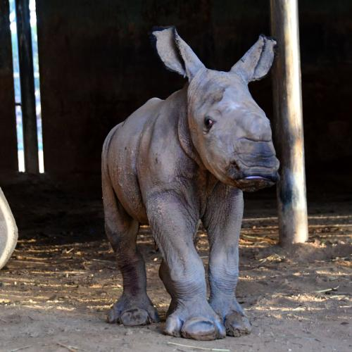 Aussie Zoo Welcomes A New Baby Rhino And It's So Cute!