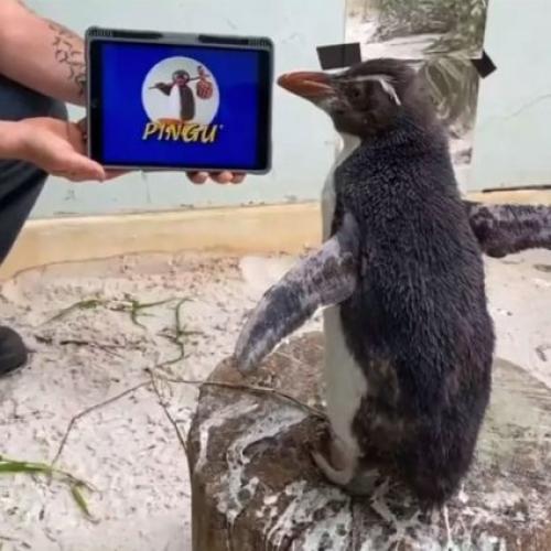 Perth Zoo Penguin 'Pierre' Has Been Binge-Watching Pingu And Honestly, We Needed This