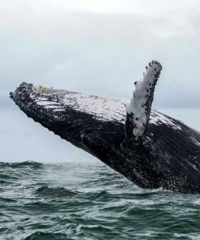Woman, 29, Crushed Between Two Humpback Whales While Diving Off WA