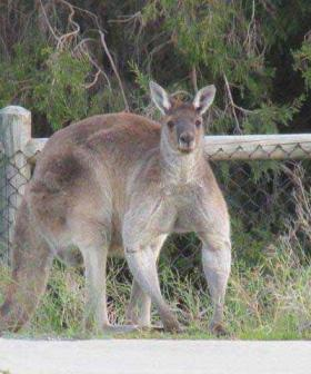Check Out This Absolutely Ripped Roo Called 'Brutus' Near Perth