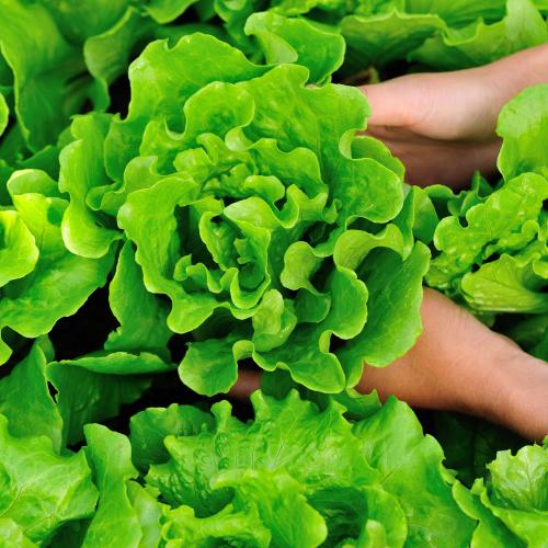 You Could Be Paying $10 For A Head Of Lettuce By Christmas