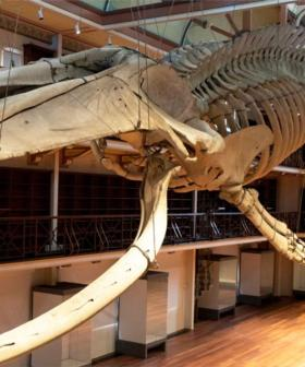 WA Museum Now Offering Weddings Under Otto The Giant Blue Whale Skello
