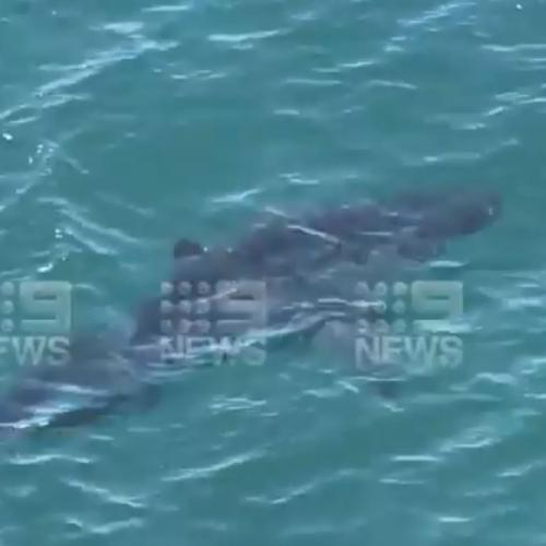 Huge 5-Metre White Shark Spotted Circling Around Popular Cottesloe Beach