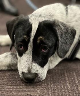 Speck The Cattle Dog Reunites With Owner Almost 300km Away From Home