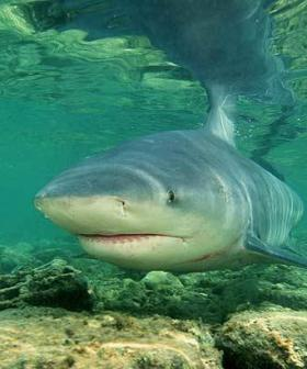 Another Large Bull Shark Spotted Near Blackwall Reach Attack Site