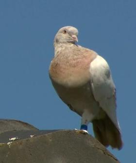 The Pigeon Who Flew 15,000km From Alabama To Australia To Be Euthanised