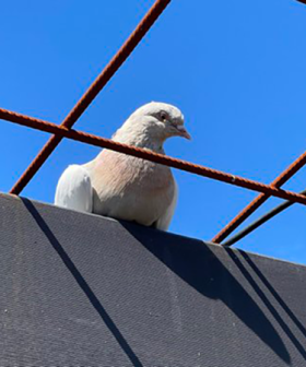 Australian Government 'Exploring Options' To Save Joe The Pigeon From Execution