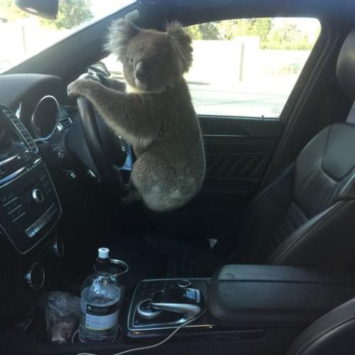 Daring Koala Causes Six-Car Pile Up On Adelaide's South Eastern Freeway