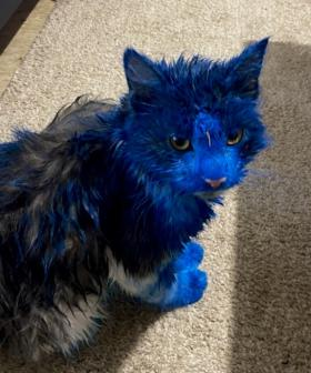 Cats Covered In Blue Paint Turn Up In Perth's Northern Suburbs