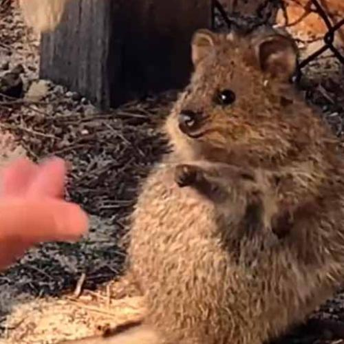 This Quokka's Reaction To Man Performing Juggling Act Is So Adorable